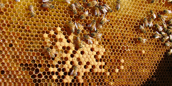 600x300 bees